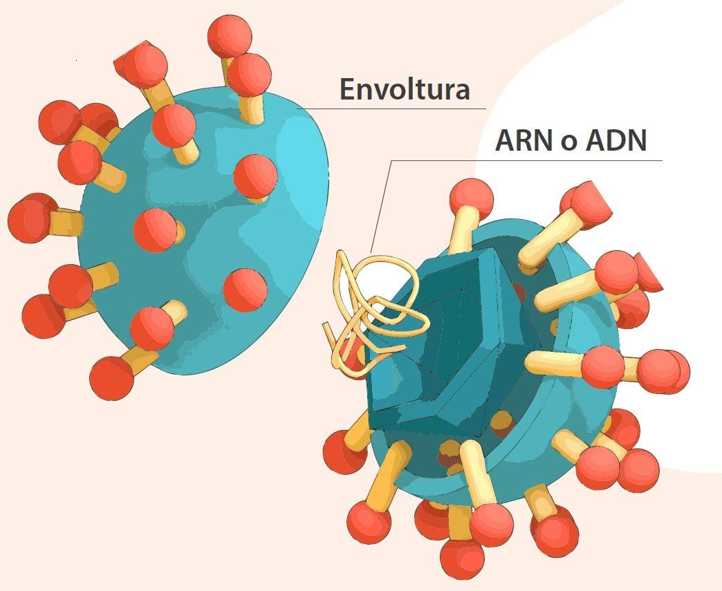 ADN ARN envoltura virus