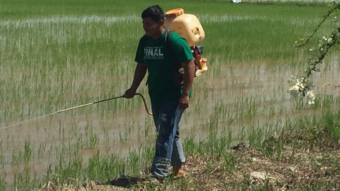 Nuclear Package Helps Farmers Increase Rice Yields And Income In Northern Malaysia Iaea