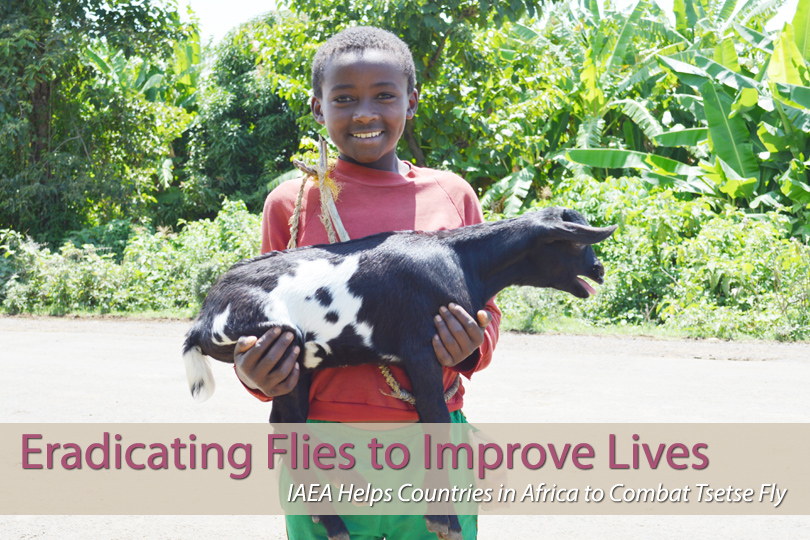 The IAEA, through its Joint Division with the UN's Food and Agriculture Organization and its Technical Cooperation programme, supports 14 African countries in their efforts to combat the tsetse fly using the Sterile Insect Technique. One of these countries is Ethiopia. This photo essay focuses on the country's ongoing tsetse eradication project.