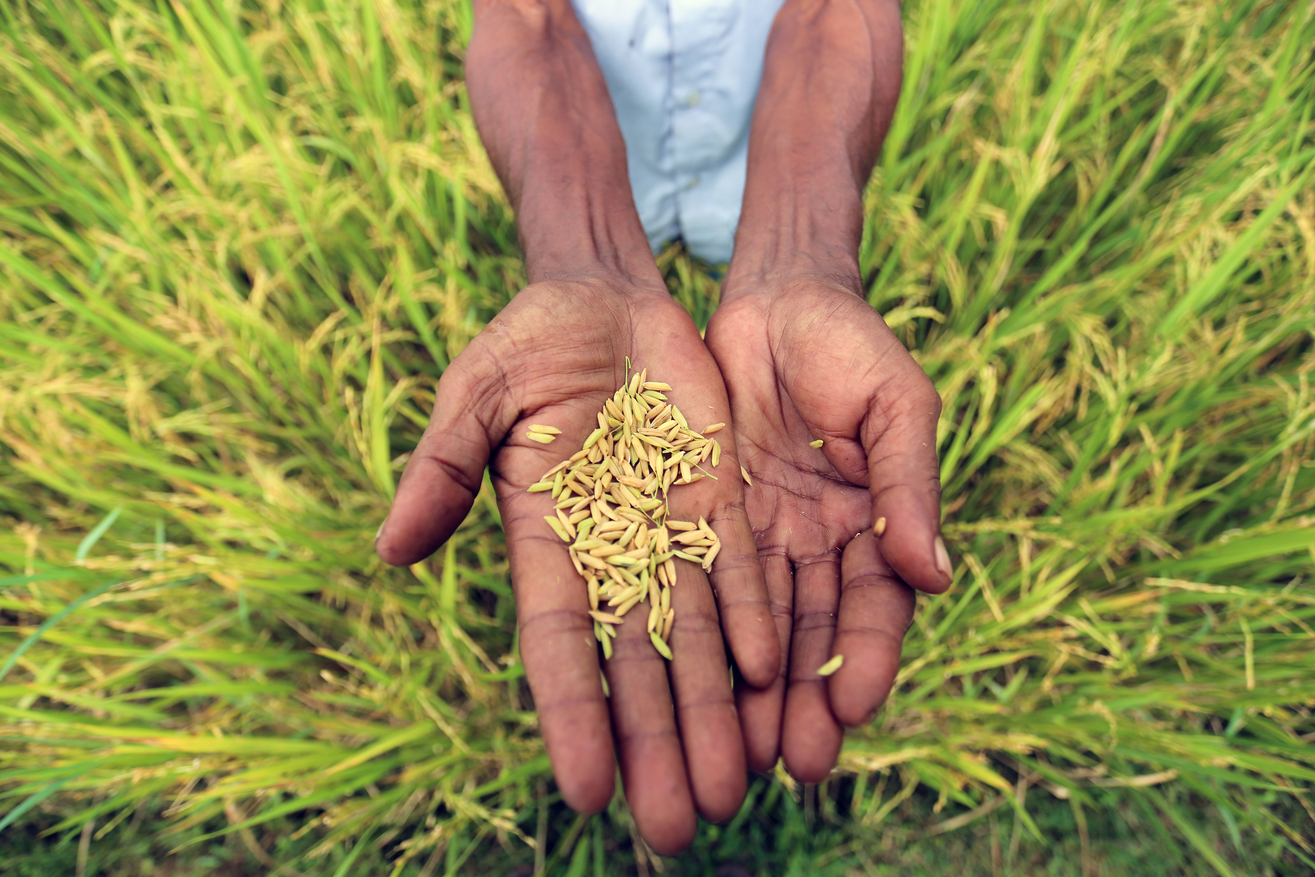 Bangladesh Triples Rice Production With Help Of Nuclear Science Iaea