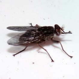 Towards Eradication of Tsetse Fly