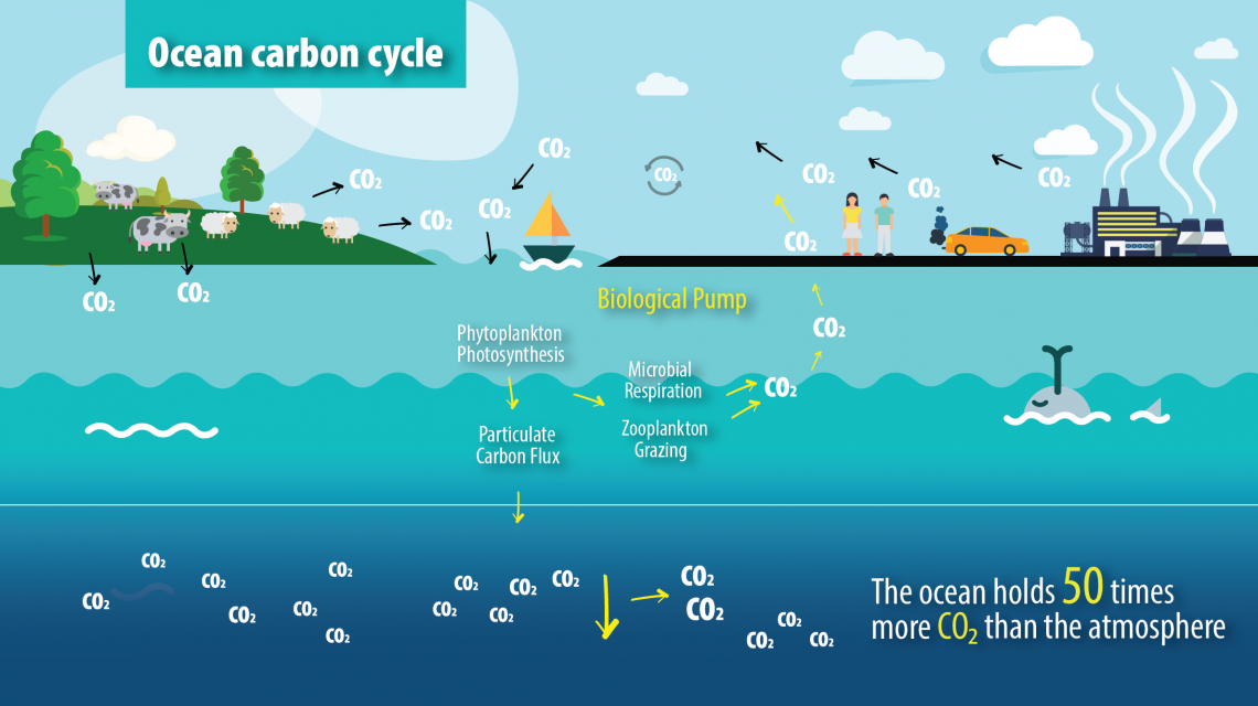 The ocean carbon cycle
