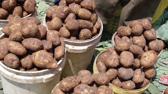 Drastic Reduction in Water and Fertiliser Use by Potato Farmers in