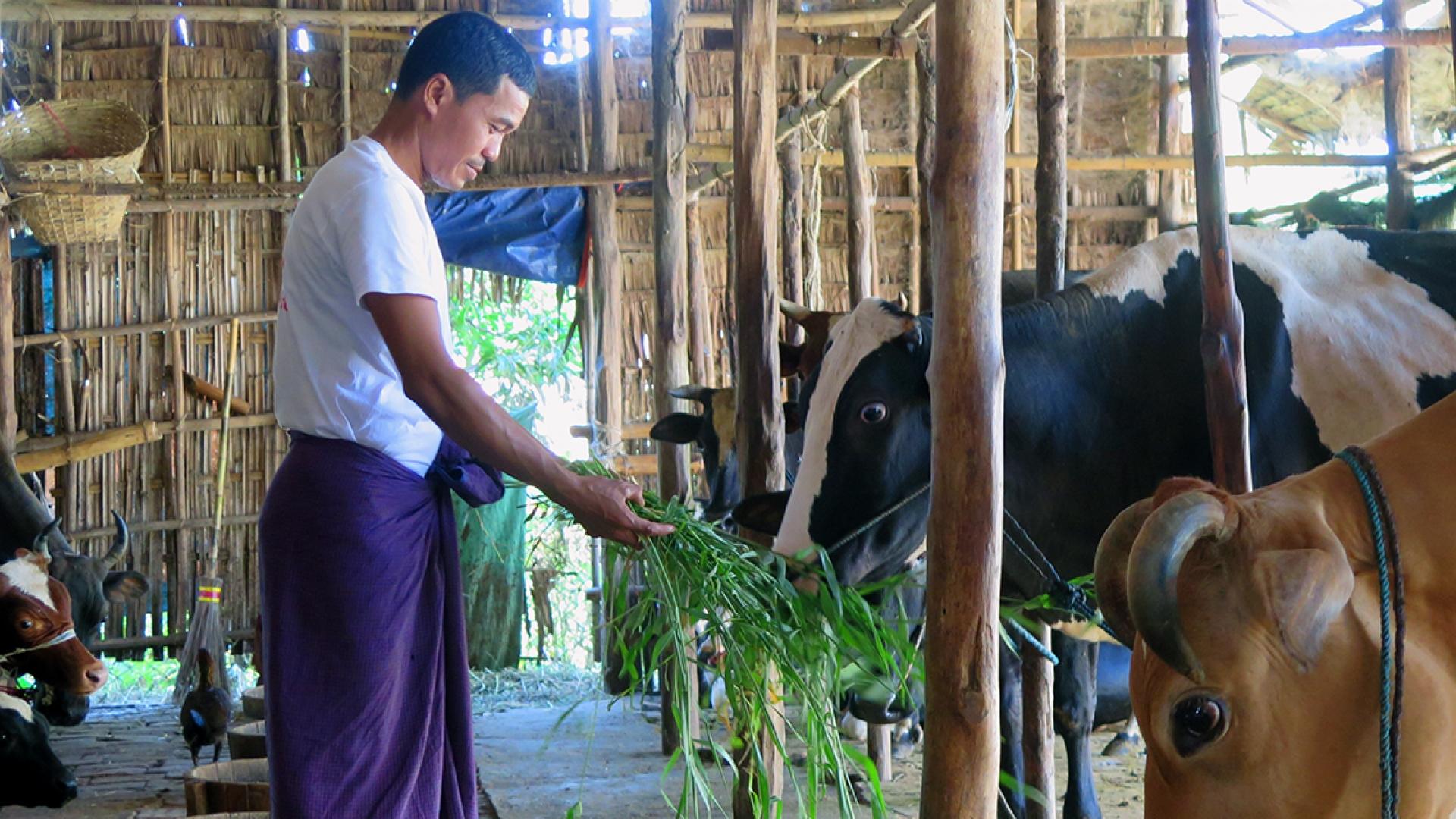 Myanmar's Dairy Farmers Benefit from Cattle Breeding