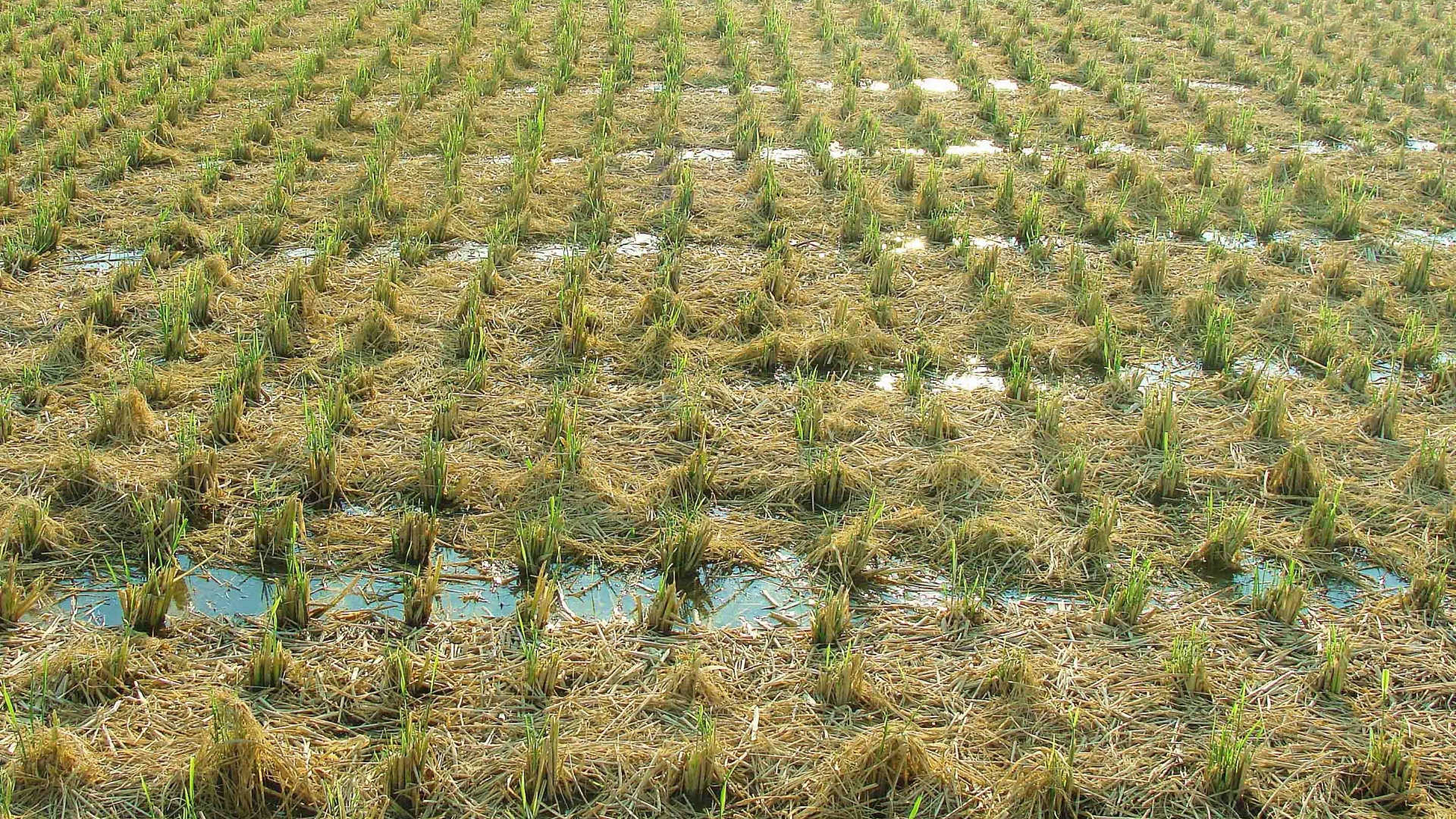 Rice Fields In China Double Yields By Ratooning Iaea