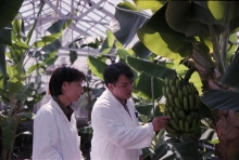 Plant breeding experts develop mutant plants tolerant to salinity in the Plant Breeding Section. Nguyen Thi My Giang and Arsenio Toloza with banana samples. Seibersdorf laboratory. May 1999. Please credit IAEA/PEREZ VARGAS Juanita