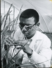 An experiment to discover how to develop better varieties of rice by induced mutation. Mr. W.C. Li, an IAEA fellow, studying rice plants grown from irradiated seeds in the plastic hot house. September 1967.  Please credit IAEA