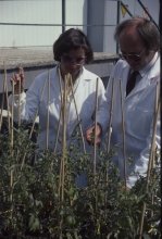 A wordwide network of research co-operation was established to enable interaction between IAEA scientists and research institutes in its Member States with an emphasis on agricultural and life sciences, especially in developing countries. Crop modification using mutation breeding was the objective of several such programmes. 1984-1986. Please credit IAEA/DAGLISH James