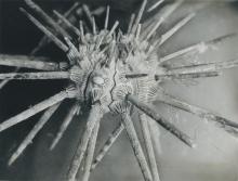 Eucidaris tribuloides - a type of pencil sea urchin. 1960-1972. Please credit IAEA