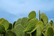 Mexico: Opuntia cacti generate $100 million a year in Mexico and are of great economic, environmental and cultural importance to the country. An outbreak of the cactus moth threatened this plant. Coordinated efforts of the Mexican Ministry of Agriculture, the United States department of Agriculture and the Joint FAO/ IAEA Division, eradicated the pest that was killing the cactus in 2009. This was done through the Sterile Insect Technique, the systematic release of sterilized insects over target areas, in order to prevent the reproduction and therefore the spread of the moth. (Photo Credit: iStockPhoto)