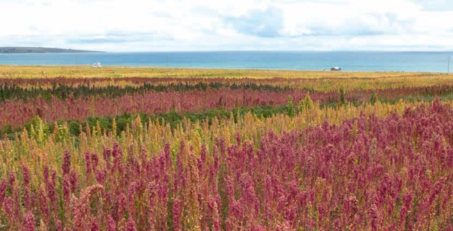 Climate Change Adaptation: Boosting Quinoa Production