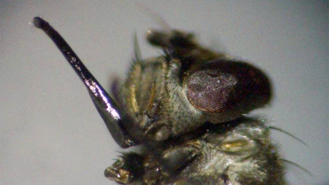 Stinging Wasps Replace Chemical Pesticides becoming Control Agents in Fighting Stable Flies