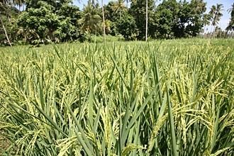 SUPA BC rice growing in Zanzibar