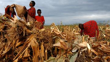 Maasia pastoralists preparing their maize harvest in Narok, Kenya. (Photo: FAO/Ami Vitale)