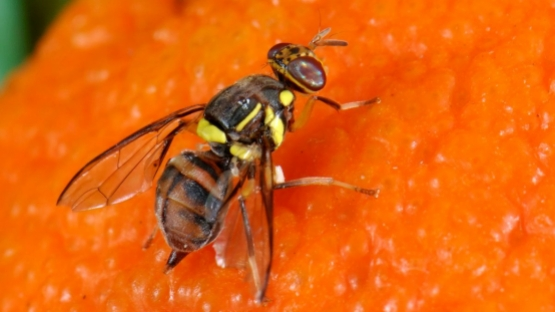 The Oriental fruit fly (Bactrocera dorsalis) is one of the most destructive fruit flies in the world, causing fruit damage and creating barriers to international trade