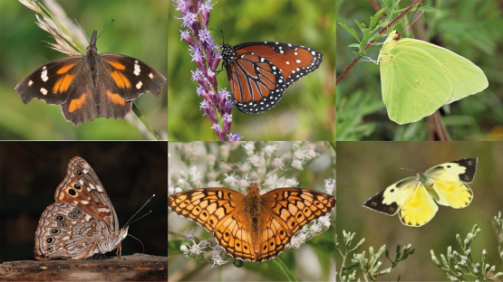 Scientists studied the migration of six butterflies with isotopes