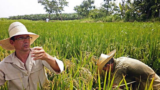 Cuban rice variety bred for tolerance to salinity and rice mites stays relevant in Cuba's fields and its cuisine for almost 20 years