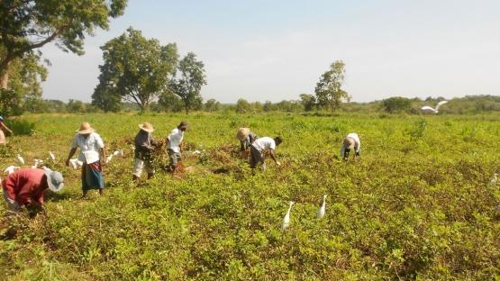 Harvesting groundnut in Sri Lanka