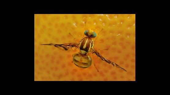 Native Fruit Fly