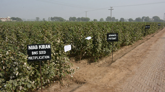 Cotton in Pakistan: How Nuclear Techniques are Helping the Textile Industry