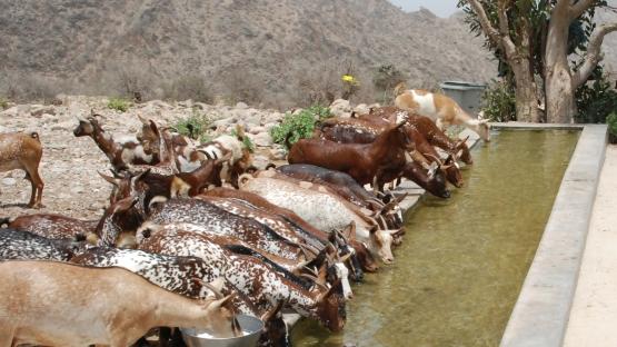 Global Strategy to Eliminate Peste des petits ruminats (PPR) IAEA FAO