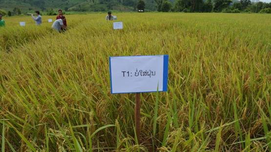 Rice demonstration trial on farmer's field
