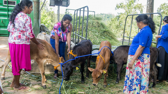 In Sri Lanka, women play a critical role in driving rural communities' economic development and ensuring food security. According to the Food and Agricultural Organization of the United Nations (FAO), Sri Lanka is largely self-sufficient in animal products except in dairy, where national consumption has steadily grown since the 1970s, outpacing supply. Boosting dairy production in the country will help empower women in rural areas and improve the country's self-reliance. </br> </br> Text: O. Yusuf/IAEA  </br> Photos: S. Anuraj/University of Peradeniya