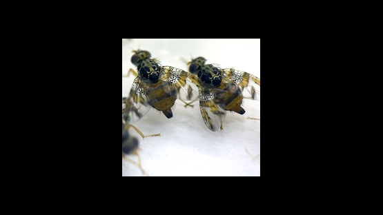 Eliminating Pests with SIT