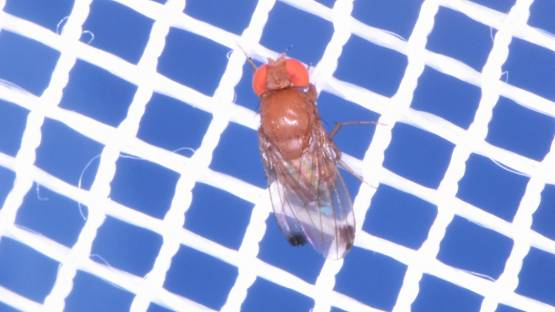 Spotted Wing Drosophila, Drosophila suzukii, is a fruit fly native to Southeast Asia but has invaded parts of Europe, the Americas and, most recently, Africa