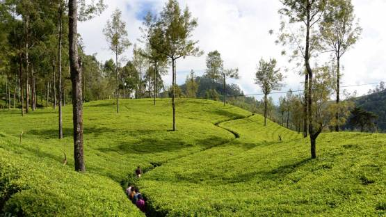 SRL5050 - Boosting Tea Plant Diversity, Quality and Resilience in Sri Lanka