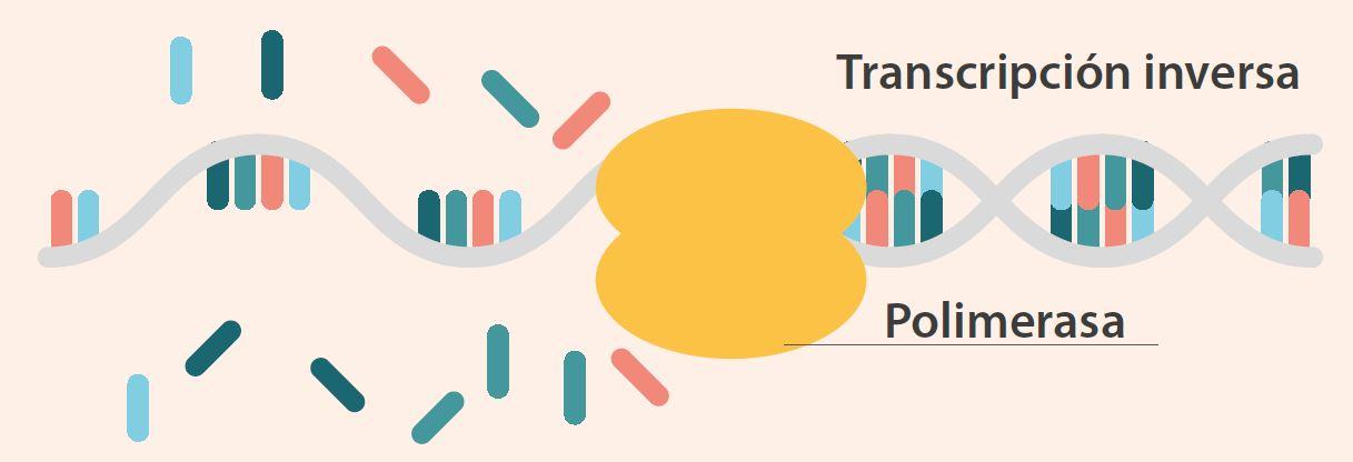 Transcripción inversa polimerasa