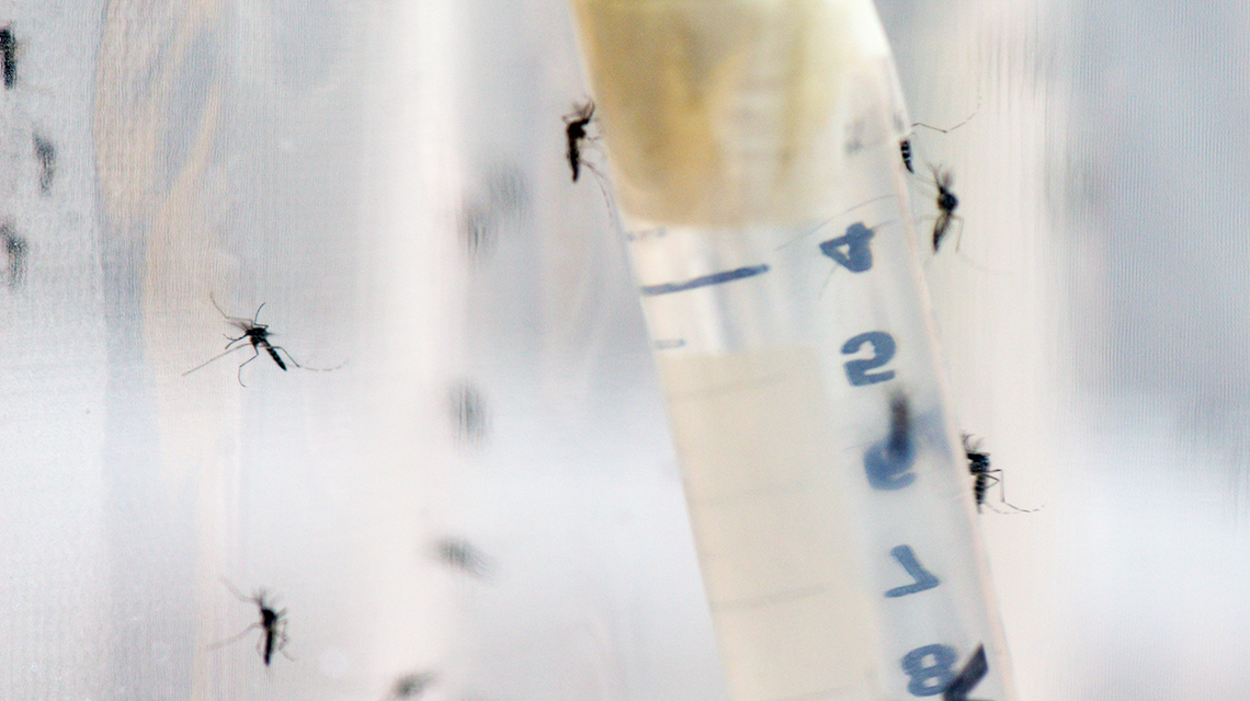 New Method Advances Research on Controlling Mosquitoes Using Nuclear Techniques